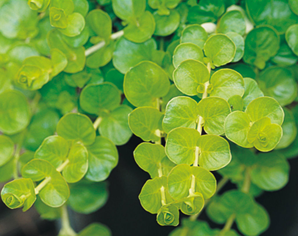 Plant This Fast Growing Groundcover For Bordering A Garden