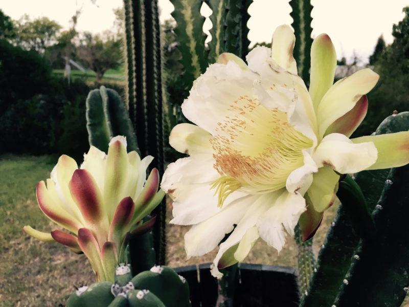 Peruvian Apple Cactus