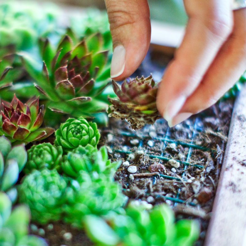 Succulent and Cactus Cutting