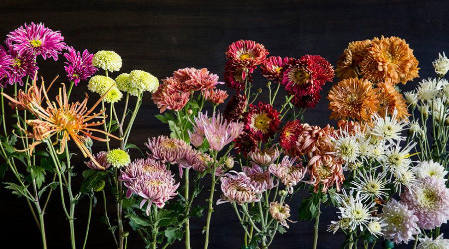 Chrysanthemum (Chrysanthemum indicum)