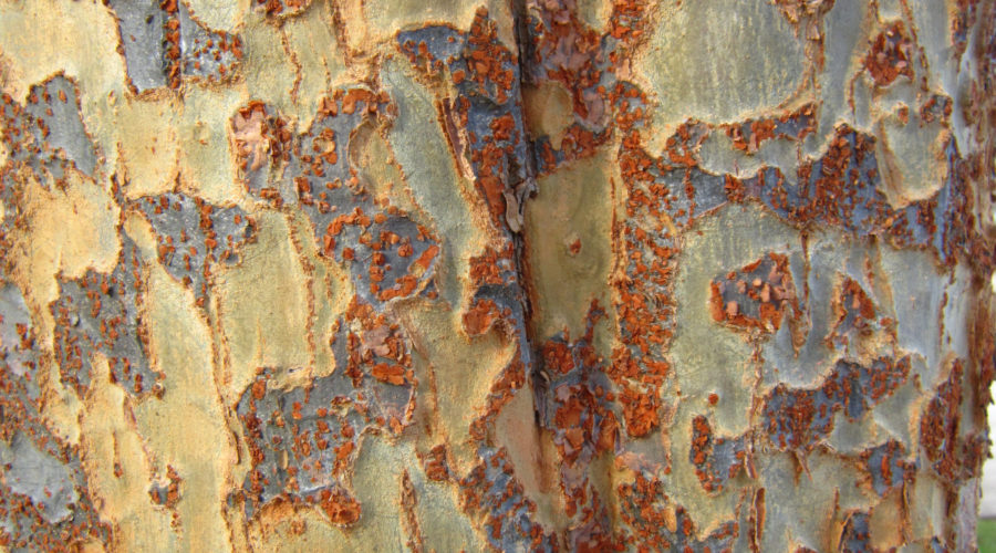 Lacebark Elm (Ulmus parvifolia)