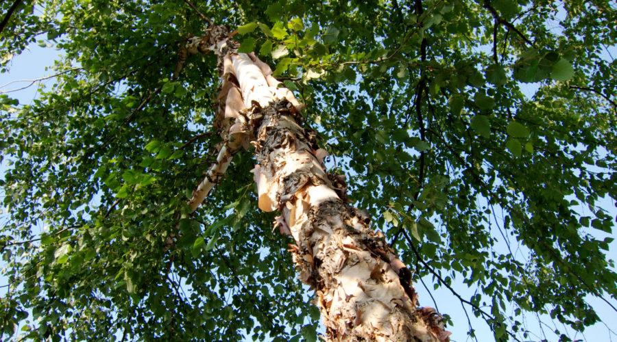 River Birch 'Heritage' (Betula nigra)