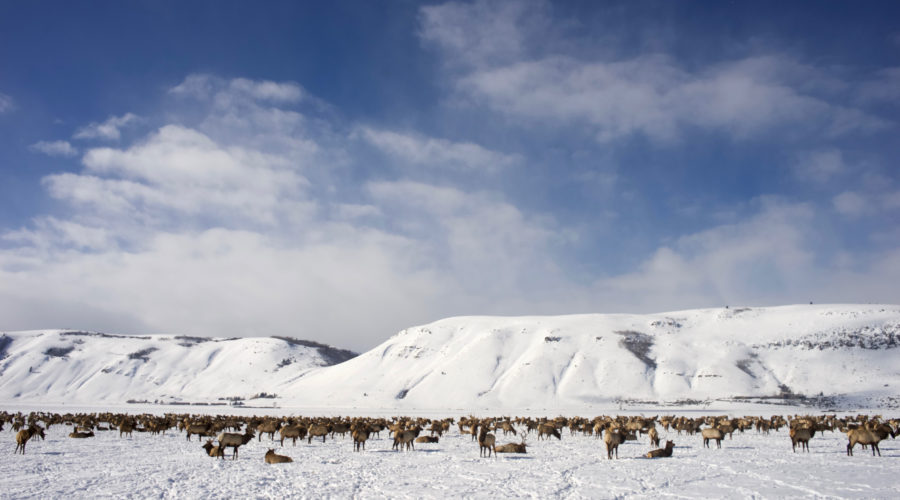 Frolic with Elk Herds in Wyoming