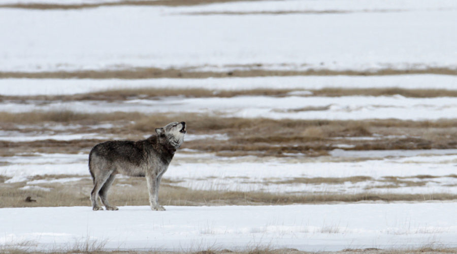 Spotting Wolves in Yellowstone