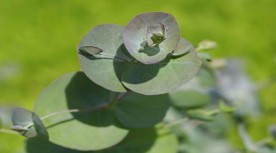 Eucalyptus 'Silver Drop'