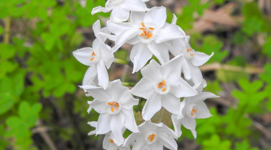 Paperwhite (Narcissus papyraceus)