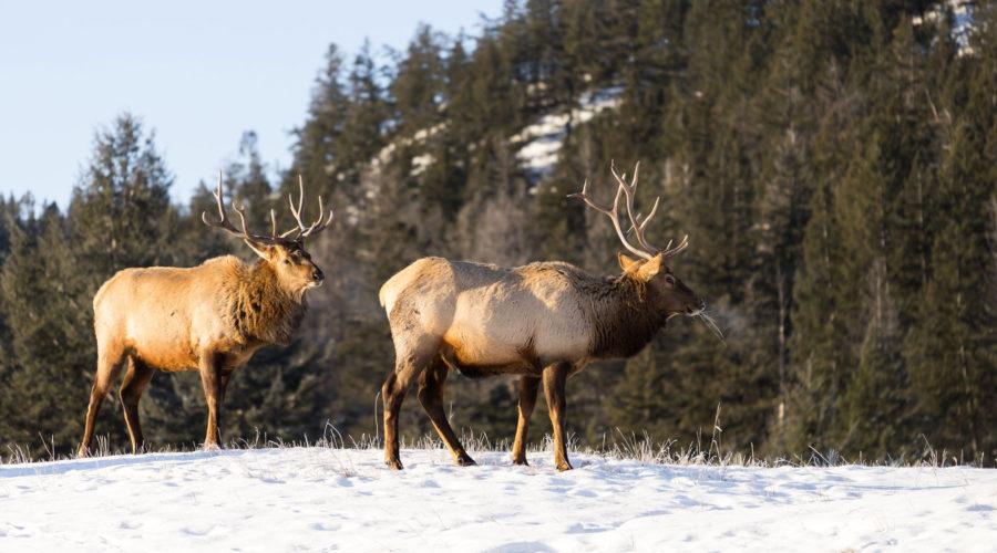 Elk standing on snow at Jasper National Park, AB