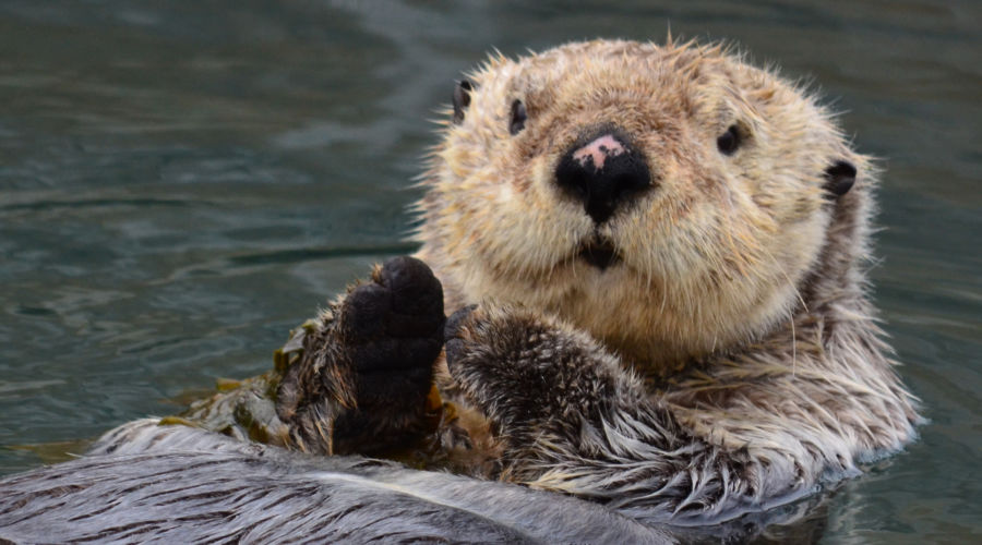 Sea Otter Awareness Week Top Tweets Sunset Magazine