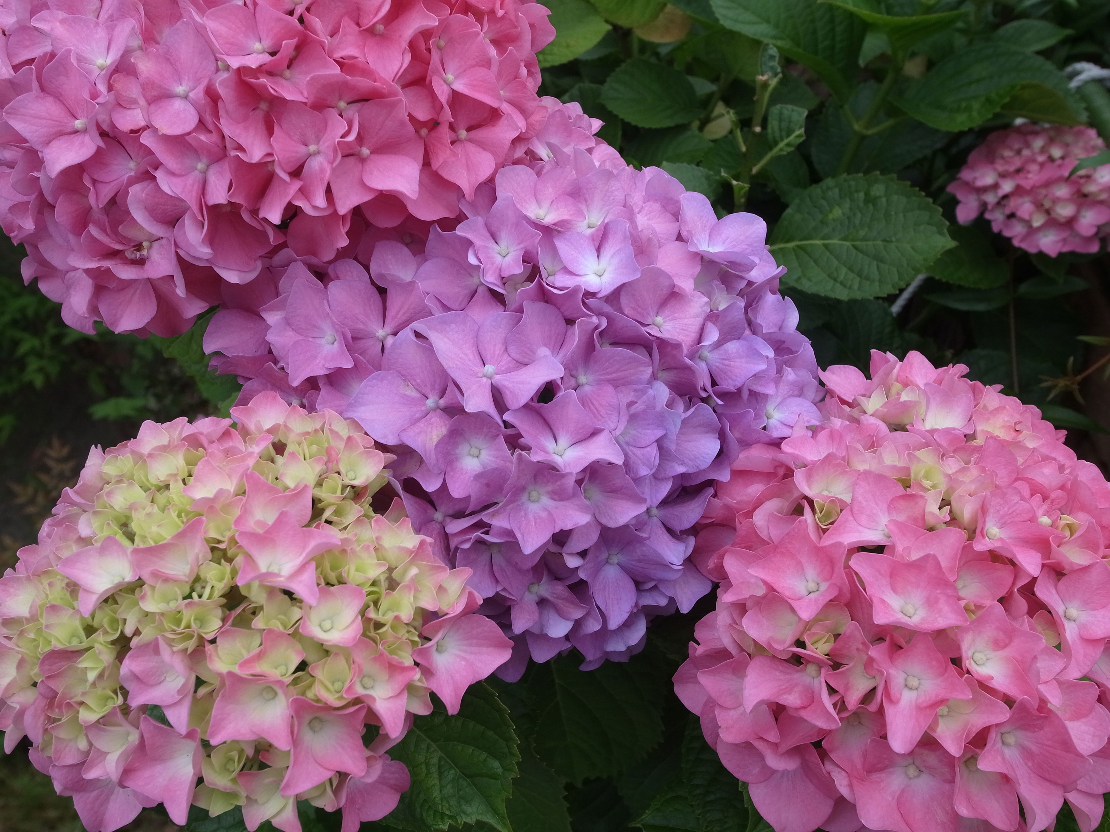 The Ultimate Guide To Properly Pruning Hydrangeas Sunset Magazine