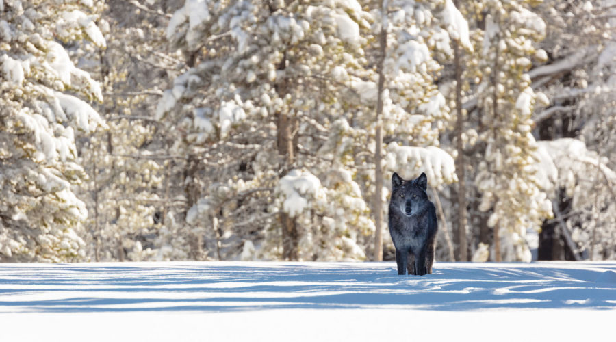 See Wolves in Yellowstone