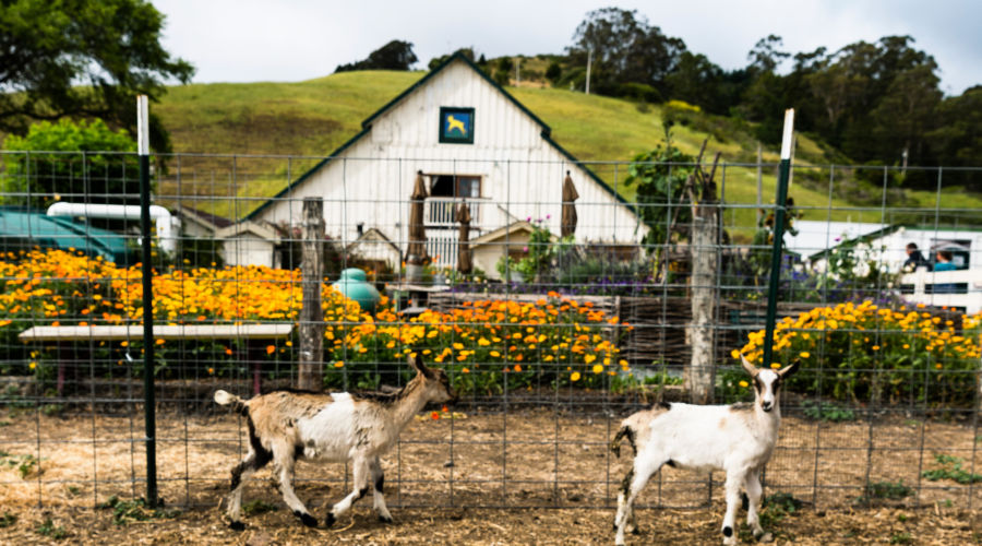 Harley Farms Goat Dairy, Pescadero, CA