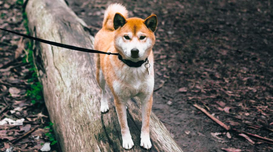 Shiba Inu in the Presidio